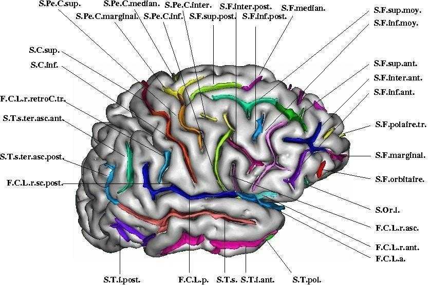 Brainvisa Anatomist Brainvisa Anatomist
